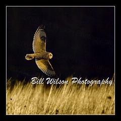 short eared owl (wildlifephotonj) Tags: bird nature birds wildlife raptor owl raptors owls naturephotography naturephotos shortearedowl wildlifephotography wildlifephotos shortearedowls natureprints wildlifephotographynj naturephotographynj