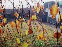 Contrasto (Pelle&Calamaio) Tags: autumn italy mountain fall colors rain fog clouds italia autumnleaves autunno montagna brescia autumntrees contrasto incandescenza pontedilegno lovelyweather welcomeautumn autumnsmell benvenutoautunno