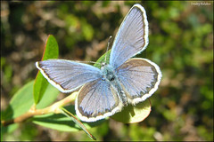 Silver-studded Blue / - / Plebejus argus (Dmitry Kulakov) Tags: plebejusargus silverstuddedblue