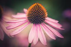 Flower (Kajfash) Tags: pink flowers flower macro nature petals bokeh coneflower kwiaty kwiat rowy beautyofnature jewka patki canoneos5dmarkii canonef100mmf28lmacroisusm piknonatury