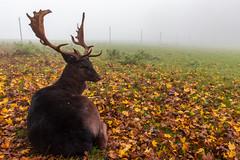 Rudolph waiting for Santa (merwill) Tags: nebel laub herbst weitwinkel laubwald wildfreigehege wildenburg kempfeld