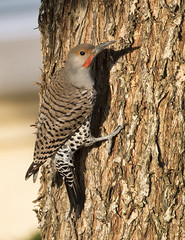Northern Flicker (Hockey.Lover) Tags: birds alamedacounty northernflicker 2015 myfrontyard