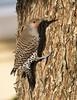 Northern Flicker (Hockey.Lover) Tags: birds alamedacounty northernflicker 2015 myfrontyard