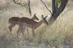 Safari Light (Pete Foley) Tags: africa safari impala namibia etosha littlestories overtheexcellence pinnaclephotography beautiesbeasts