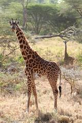 Giraffes (Pedrosky.) Tags: africa nature kenya wildlife giraffe nairobinationalpark