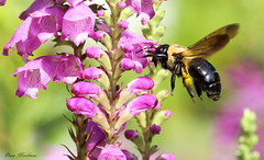 You Are Boring (Diane Marshman) Tags: pink flowers summer plant motion black nature yellow garden insect flying wings purple action body head pennsylvania blossoms flight large bee pa late tall blooms northeast perennial blooming spreading borer obedient