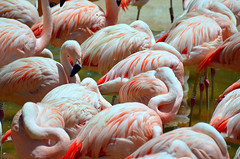 Zoológico de São Paulo (De Santis) Tags: parque brazil bird animal brasil square zoo nikon candid sãopaulo flamingo sigma sp ave zoológico 70300mm turismo ponto municipal d5100 fernandodesantis