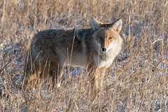 Watchful Coyote at Cherry Creek State Park