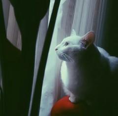 Kiara (adivinhequeporra) Tags: cats cat gato catoftheday catlover gatobranco