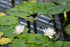 (ddsnet) Tags: travel plant flower japan waterlily sony cybershot  nippon   aquaticplants nihon  backpackers         rx10  hygoken    nymphaeatetragona     flowerinjapan
