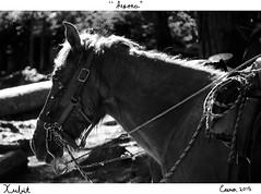 """Pepona"" (Xubit) Tags: horses horse naturaleza white black blanco nature animal forest contraluz caballo caballos y negro bosque animales epona fotografa yegua pepona xubit"