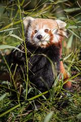 2015-01-17-13h26m06.BL7R0601 (A.J. Haverkamp) Tags: zoo rotterdam blijdorp redpanda dierentuin kleinepanda diergaardeblijdorp httpwwwdiergaardeblijdorpnl canonef100400mmf4556lisusmlens