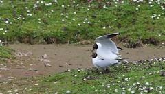 Black Headed Gull 230416 (4) (Richard Collier - Wildlife and Travel Photography) Tags: birds wildlife gull naturalhistory mating british blackheadedgull