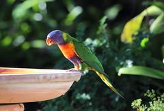 Rainblow Lorikeet (StaceyA42) Tags: bird water rainbow bath lorikeet