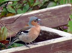 Je chante du soir au matin ... (zogt2000 (No Video)) Tags: bird garden jardin bretagne oiseau pinsondesarbres plomeur