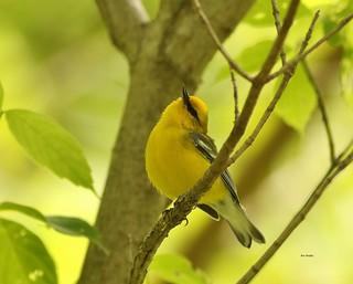 bluewingedwarbler 1176