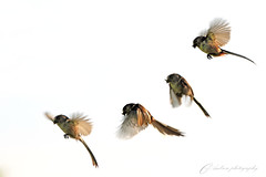 coming in to land... (~ **Barbara ** ~) Tags: morning trees wild food birds spring warm fields caterpillars worms nesting birdfood longtailedtit wildbirds ltt canon7dii