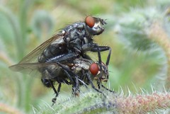 Sarcophagidae (bego vega) Tags: madrid macro animal insect fly mating mate vega borage mosca vf bv bego insecto cpula diptera dptero borago borraja sarcophagidae sarcofgido