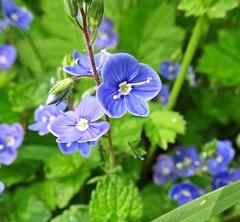 Flowers (Bricheno) Tags: flowers macro scotland escocia szkocja renfrew schottland scozia renfrewshire cosse  esccia   bricheno scoia