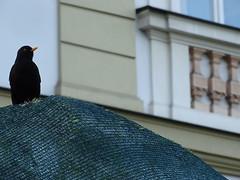 Cracow '16 (faun070) Tags: bird wildlife turdusmerula commonblackbird