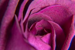 Week21/52 Rose Macro [Explored] (cheesy42) Tags: macro rose petals purple lila explore bltenbltter nahaufnahme explored 52weeks2016
