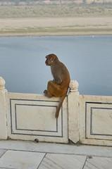 Thinking (fabriziocaradonna) Tags: wild india nature beauty animal landscape monkey