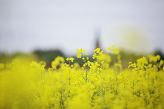 IMG_7876 (L) Tags: flowers yellow canon uppsala rapeseed 7020028lisii eos5dmkiii