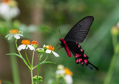 Papilio bianor thrasymedes (Changer4Ever) Tags: