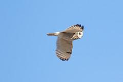 Short-eared Owl at Søraneset S24A8858 (grebberg) Tags: bird norway owl april jæren rogaland asio 2016 klepp shortearedowl asioflammeus jordugle søraneset