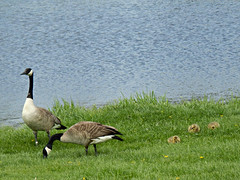 Family photo (V and the Bats) Tags: birds animals by fauna wisconsin river geese waukesha canadiangeese foxriver familyphoto geesefamily migratorybirds