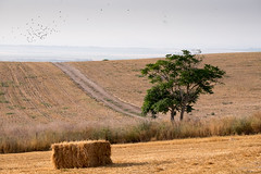 Lonly tree (mirsavio) Tags: tree yellow landscape israel path fujifilmxt1