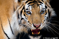 Its tiger time (michellexueqi) Tags: orange white animal animals cat thailand wildlife tiger bigcat animalplanet strips animalphotography largecat wildlifephotography catfamily