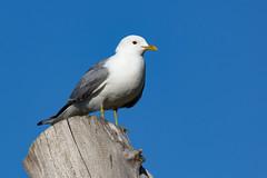 Mowe Emma (towytopper) Tags: see meer sommer blau vgel mwe mwen vogel baumstamm weis meeresvogel