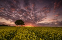 Bring Me The Horizon (Captain Nikon) Tags: sunset silhouette yellow gold spring sundown derbyshire horizon explore crops lonetree springtime rapeseed explored stantonbydale sigma1020mmf4 nikond7000