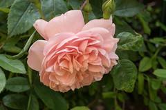 Die erste Rosenblte hat ihre endgltige Gestalt erreicht - This year's first rose has achieved its final stage of folding (riesebusch) Tags: berlin garten marzahn