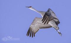 DSC_9579 (mikeyasp) Tags: nature birds outdoors flying wings nebraska feathers cranes redheads avian sandhillcranes gruscanadensis