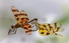 Amorous Halloween Pennants (tresed47) Tags: 2015 201506june 20150616chestercountymacro brandywinekardon canon7d chestercounty content dragonflies folder halloweenpennant insects macro pennsylvania peterscamera petersphotos places takenby technical us ngc npc