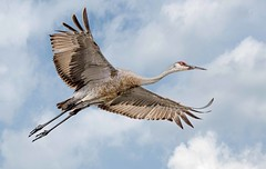Sandhill Crane (Wes Iversen) Tags: nature birds clouds brighton michigan wildlife waterfalls birdsinflight milford composites sandhillcranes kensingtonmetropark sunrays5 tamron150600mm