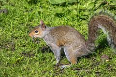 Squirel-1 (worlknut) Tags: wildlife flash pennington