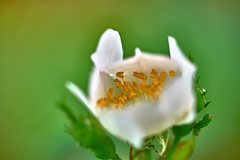 White Rose (W_von_S) Tags: plant flower macro nature beautiful beauty rose bayern bavaria spring blossom outdoor sony natur pflanze blume makro blte werner frhling whiterose schrfentiefe 2016 heckenrose ebersberg weiserose wvons alpha7rm2