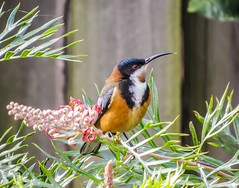 Eastern Spinebill ...a Honeyeater (Anni - with camera) Tags: flowers gardens forest woodlands parks nectar grevillea easternspinebill windaroo