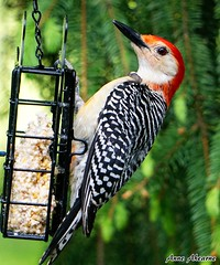 Red-bellied Woodpecker (Male) (--Anne--) Tags: bird nature birds woodpecker colorful wildlife birdfeeder redbelliedwoodpecker woodpeckers suet beautifulbird
