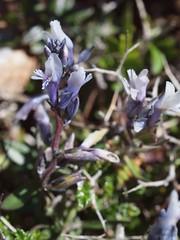 Polygala venulosa Sibth. & Sm. (Peter M Greenwood) Tags: polygala polygalavenulosa venulosa