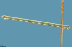 SYNEDRA CAPITATA, LA FLECHA PERDIDA EN UN PARASO, RIU DE LES CORCES, VALLIBONA (PROYECTO AGUA** /** WATER PROJECT) Tags: taxonomy:kingdom=plantae taxonomy:class=fragilariophyceae taxonomy:order=fragilariales taxonomy:family=fragilariaceae taxonomy:genus=synedra taxonomy:binomial=synedracapitata taxonomy:species=capitata protist algae diatom diatomea synedra synedracapitata pondlife microscopy proyectoagua iesescultordaniel viiitestingdeelsports vallibona biodiversidadvirtual antonioguilln castelln spain rocervol fotografamicroscpica fotografasmicroscpicas photomicrography microphotography imgenesmicroscpicas microorganismos vidaoculta lavidaocultadelagua vidaocultadelagua thelifehiddenofthewater riudecorces riucervol