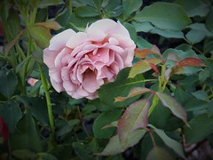 Koko Loco (MissyPenny) Tags: pink flowers rose garden pennsylvania lavender buckscounty bristolpennsylvania pdlaich