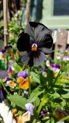 Black pansey (MustangRosie) Tags: black flower garden unique homegrown pansey