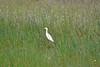 Egret: Cattle Egret, Texas,  Kleberg County, Padre Island National Seashore (EC Leatherberry) Tags: gulfofmexico texas nationalparkservice egret cattleegret bubulcusibis padreislandnationalseashore klebergcounty