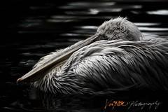 The Portrait of A Pelican (Vin PSK) Tags: portrait purple pelican the a