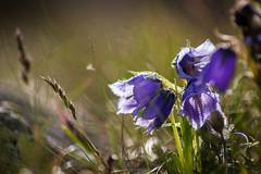 IMG_5408 (Andrei Stirb) Tags: flower retezat