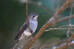 Hummingbirds in our Backyard - 5 (fksr) Tags: hummingbird bird sanrafael marincounty california
